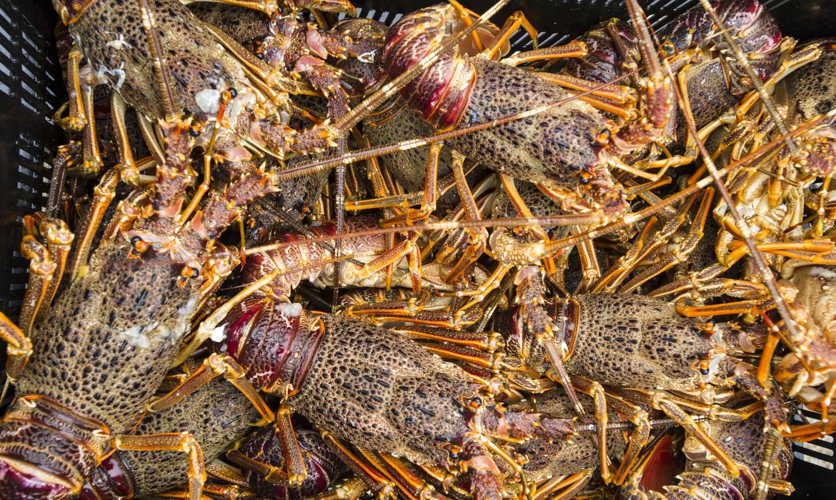 West Coast rock lobster is at risk of commercial extinction