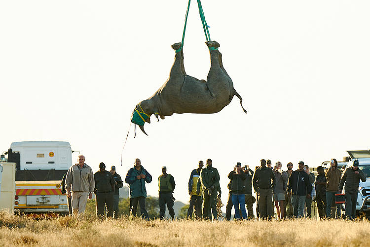 Black rhino project translocates 200th rhino