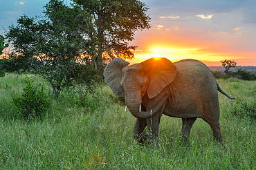 Elephant (Loxodonta africana) in South Africa