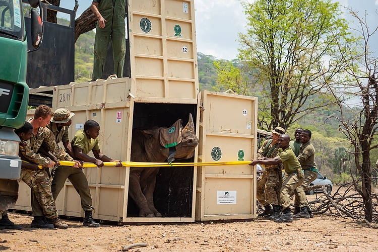Black rhinos moved from South Africa to Malawi to boost population